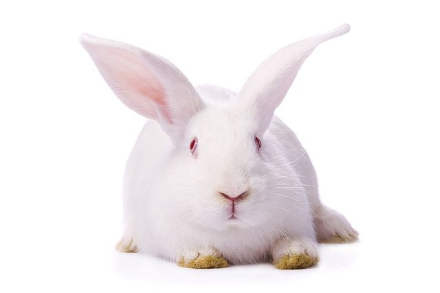 preclinical species: white rabbit
