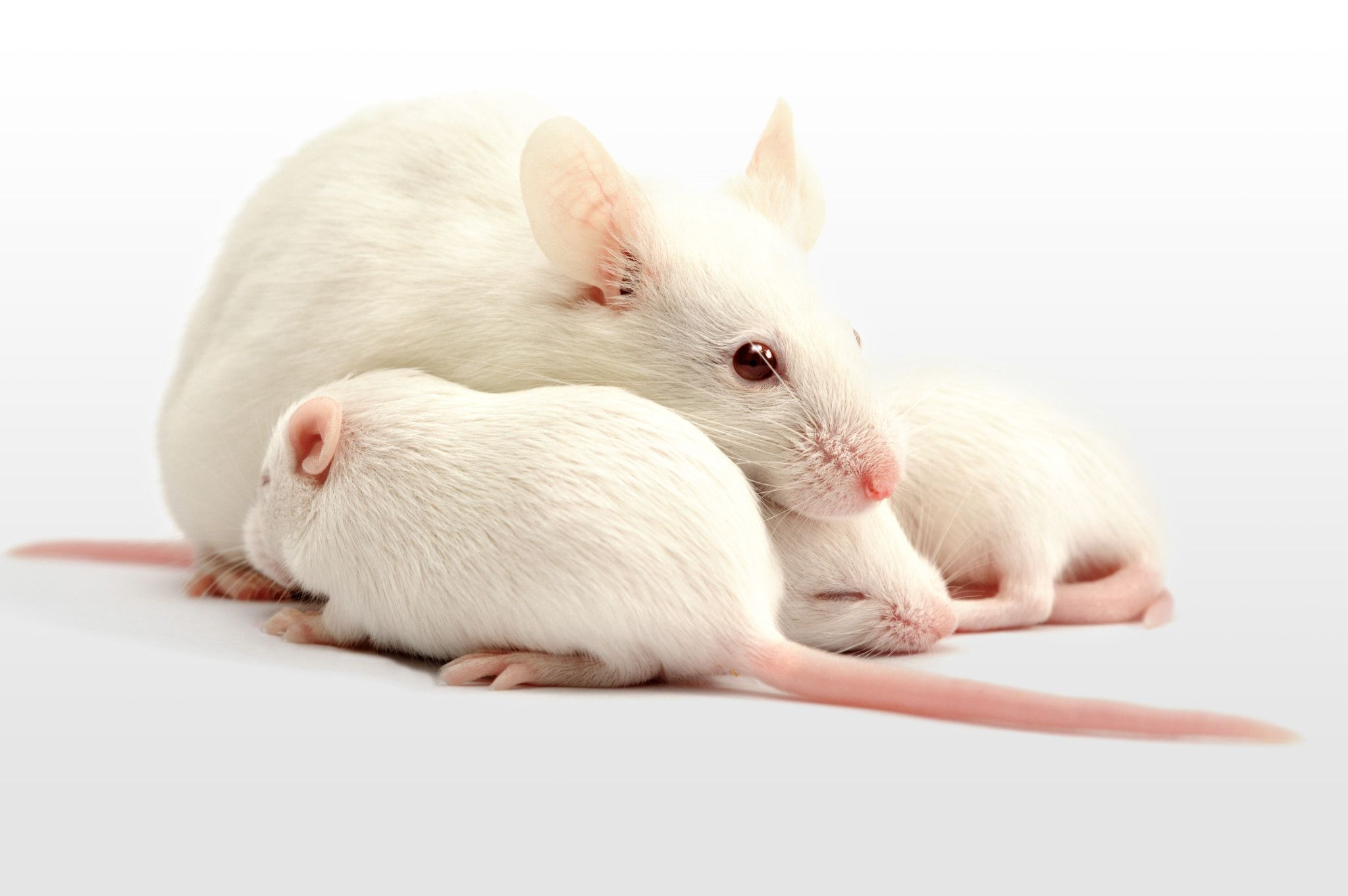 Group of white rats in front of a white background.