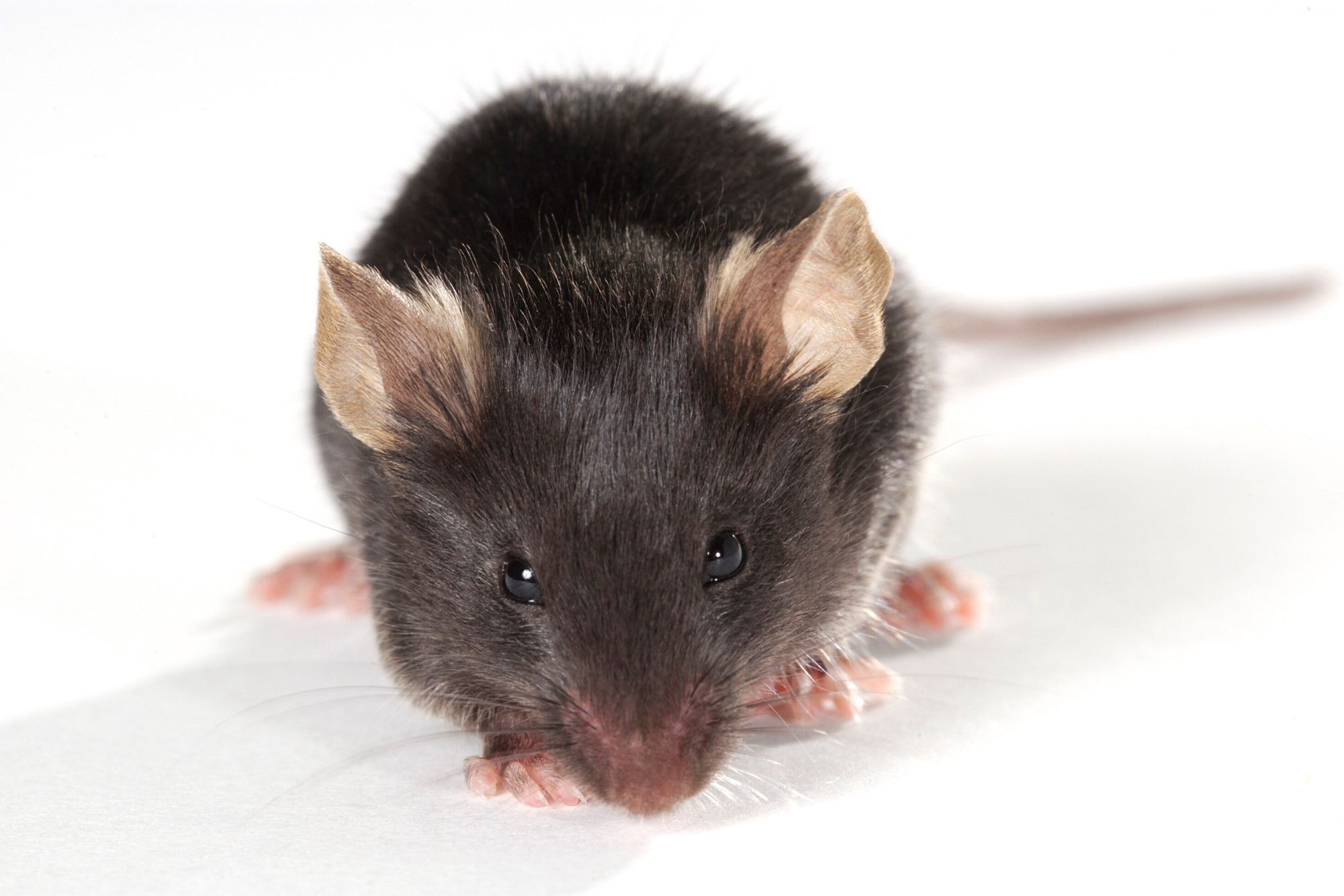 CVN Mouse model of Alzheimer's disease drug discovery to test new therapeutics for Alzheimer's disease.
