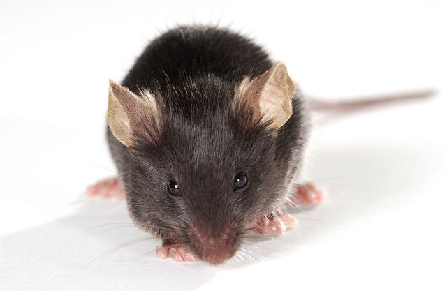 genetically engineered mouse