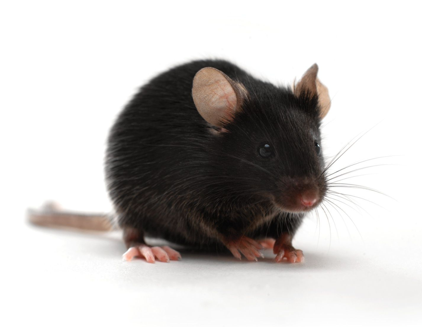 C57 black mouse on white background