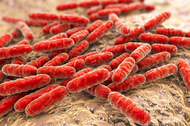 Bacteria Lactobacillus, gram-positive rod-shaped lactic acid bacteria. Our microbiome research and diagnostic services are used to ensure germ free animal health status which are part of the human microbiome