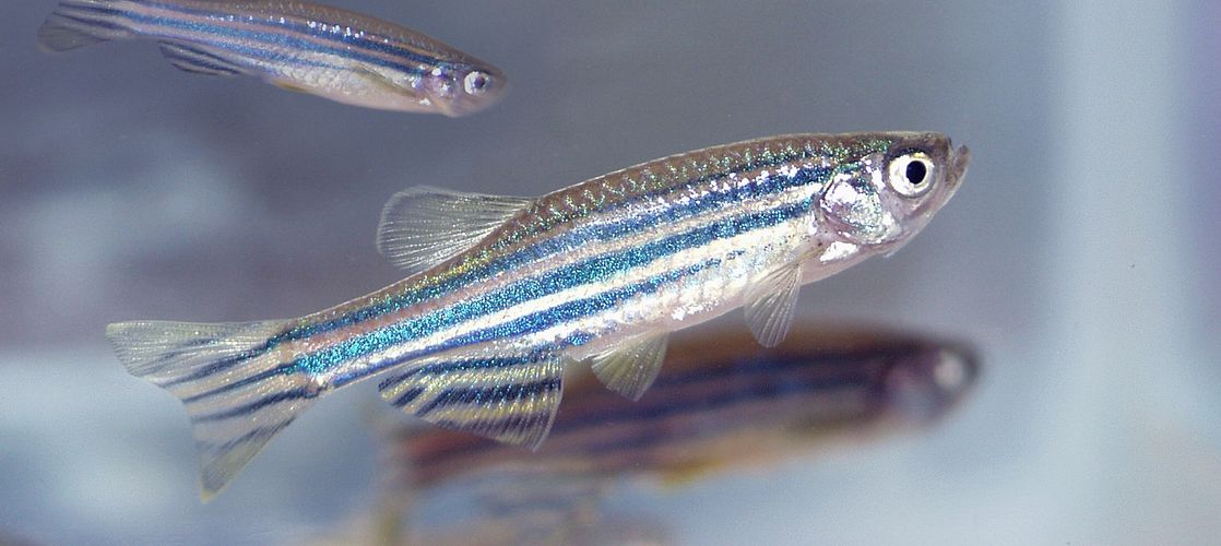 Zebrafish assays