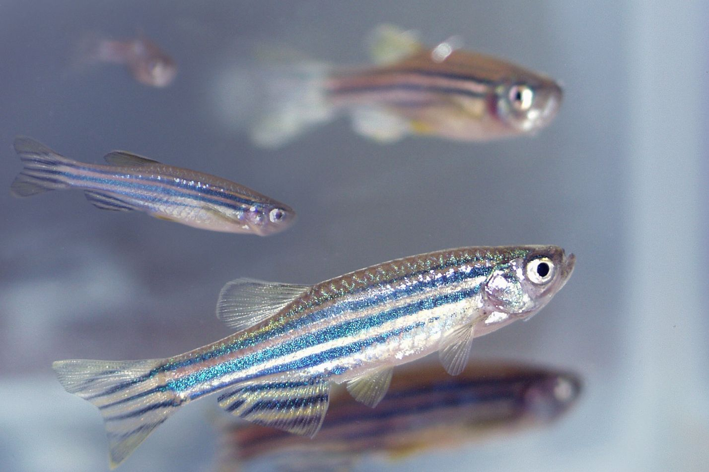Photo of a group of blue and silver Zebra fish in a tank.