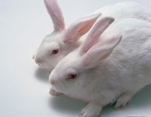 NZW rabbits