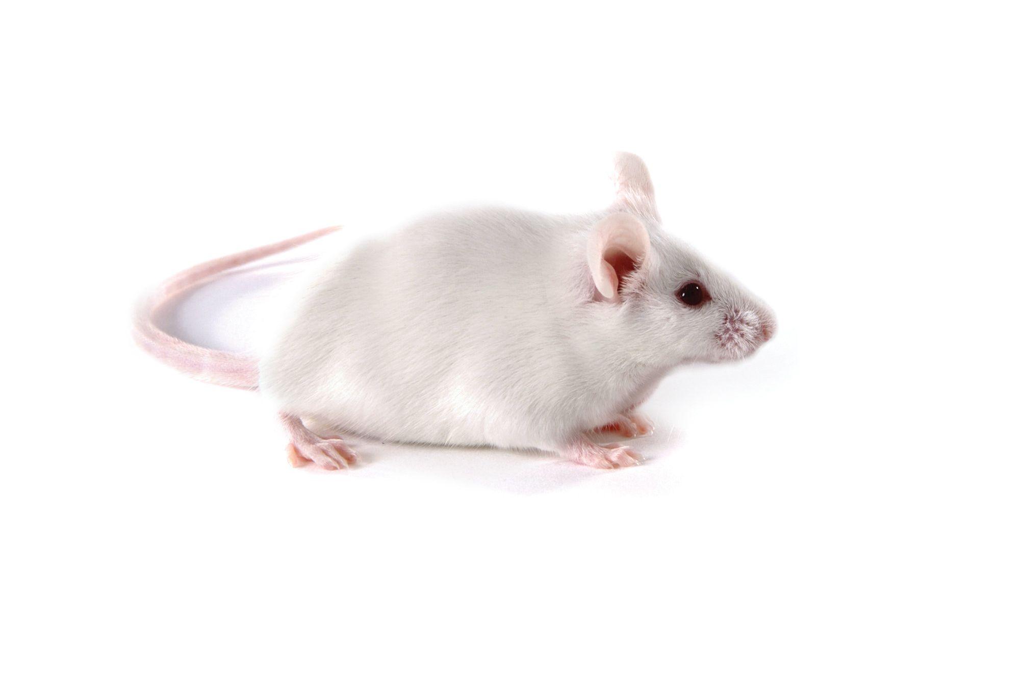 Triple-Immunodeficient Mouse