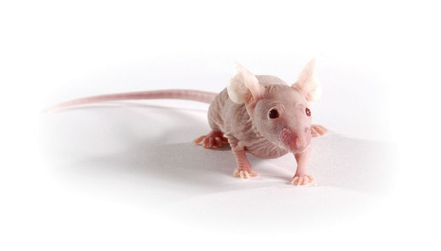 Charles River immunodeficient nude mouse model used for tumor biology research