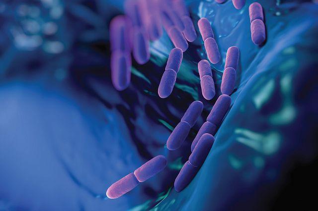 Lactobacillus bulgaricus bacteria found in microbiology testing