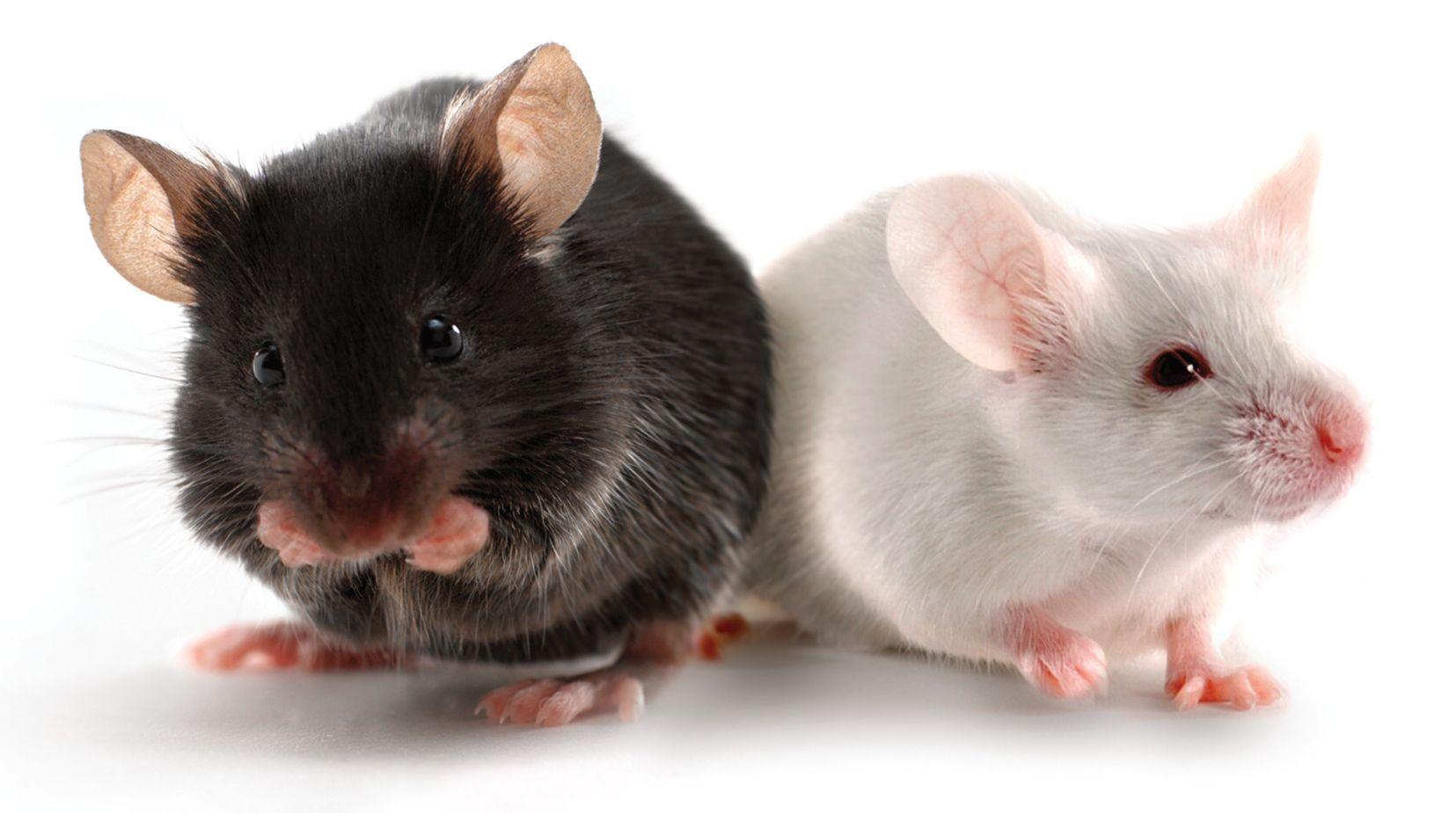 2匹のマウス