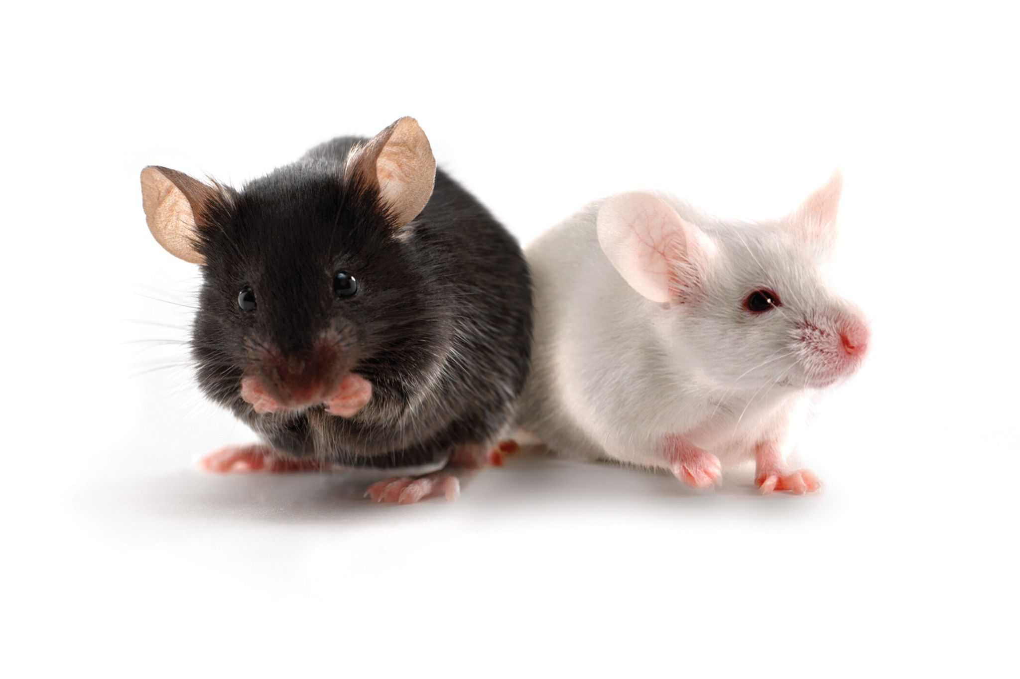 two research mouse models