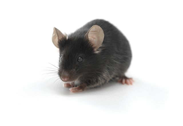 syngeneic mouse model