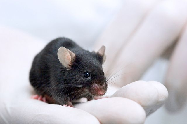gloved hand holding a black mouse facing the camera