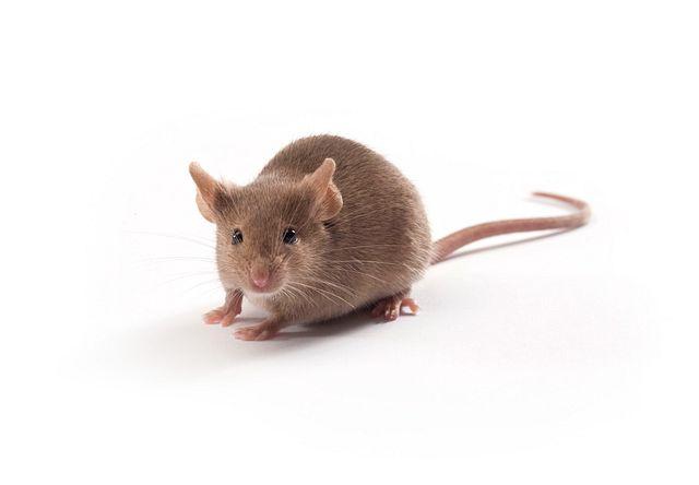 ブラウンマウス