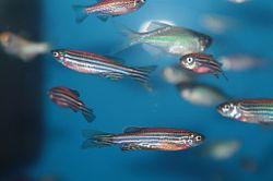 Zebra fish in a tank.