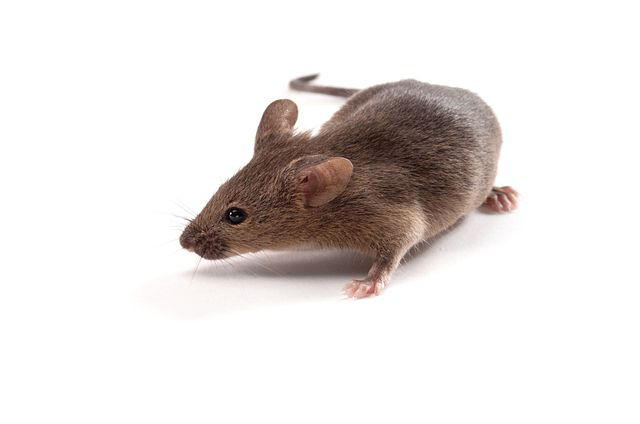 mouse model used for studying collagen-induced arthritis
