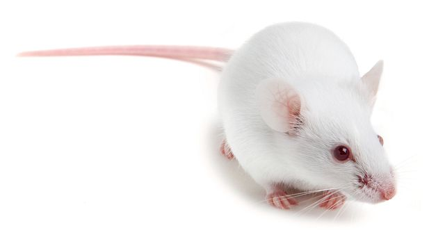 White inbred BALB/c mouse generally used for infectious disease research