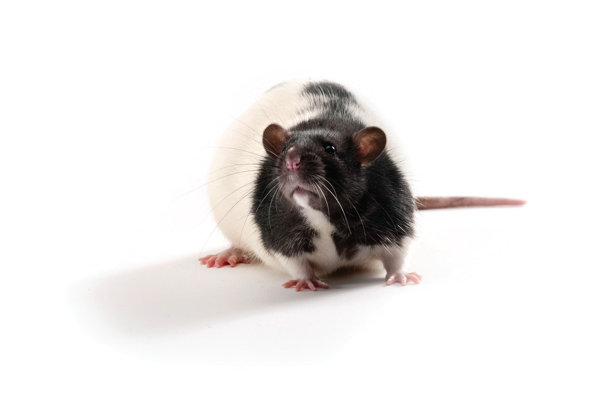 Zucker Diabetic Sprague-Dawley (ZDSD) Rat
