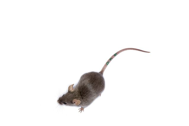 mouse with a tail marking for identification purposes