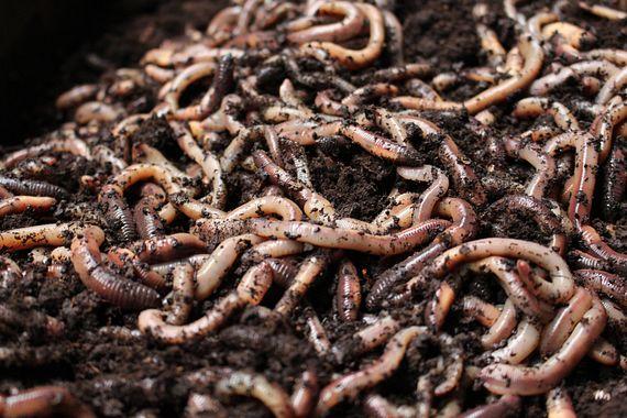 Automation in worm breeding