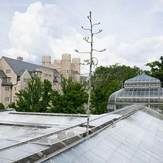 A stalk of a Century Plant (Agave americana) grows out of the roof of the Jordan Hall Greenhouse at IU Bloomington on Thursday, June 6, 2019. The plant, thought to be around 50 years old, will die after its stalk blooms.