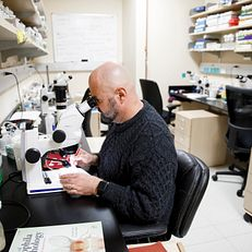 Indiana University Professor of Biology Dan Tracey inspects fly specimen under a microscope in a lab in the Multidisciplinary Science Building II at IU Bloomington on Wednesday, Jan. 23, 2019.