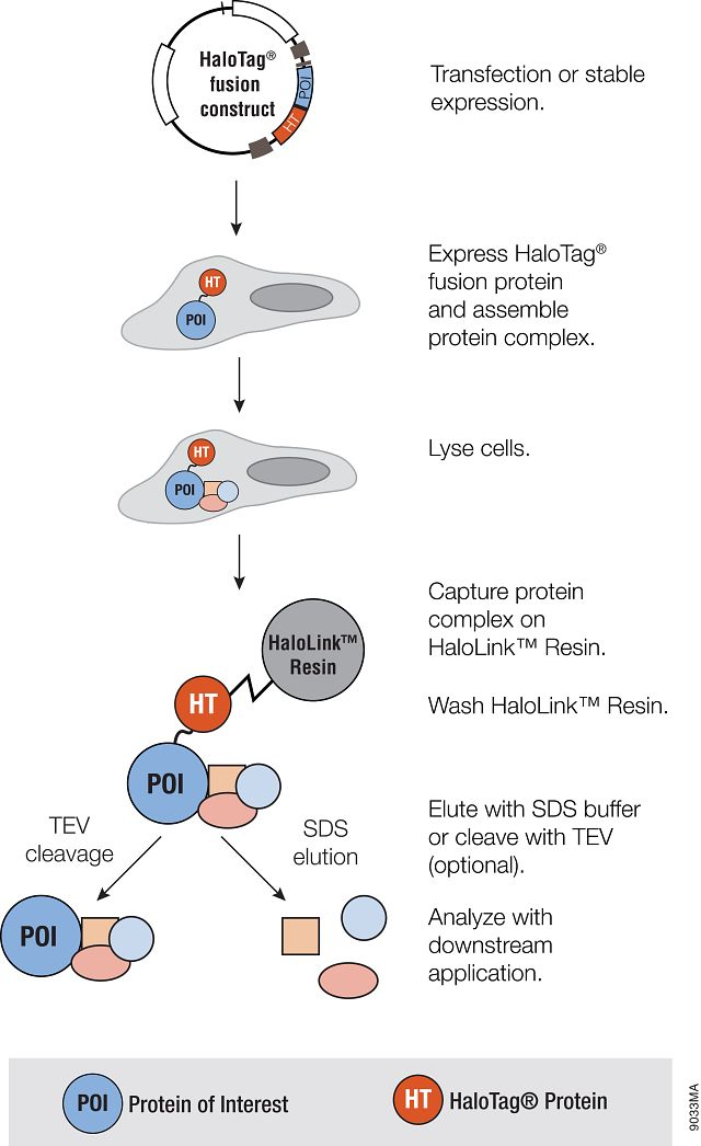 Representation of the HaloTag® mammalian pull-down assay using HaloTag® fusion protein as bait.