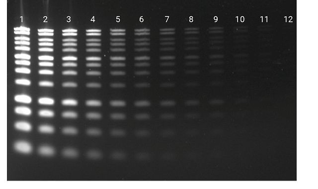 Diamond™ Nucleic Acid Dye staining of DNA separated on a 1.2% Clear E-gel®.