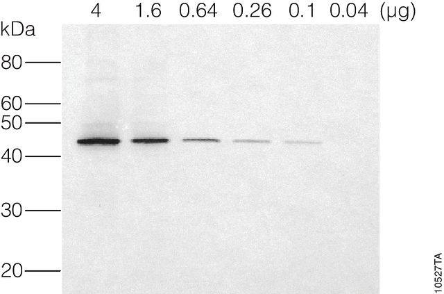 Western blot (immunoblot) for ?-actin in cytoplasmic lysate from HEK293T cells.