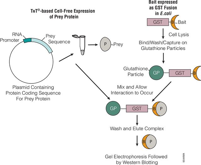 Representation of pull-down assay using bacterial expression of bait protein and T<span class='text--small-caps'>n</span>T® cell-free system for the expression of the prey protein.
