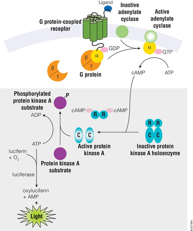 Representation of cAMP production in cells and the cAMP-Glo™ Assay.