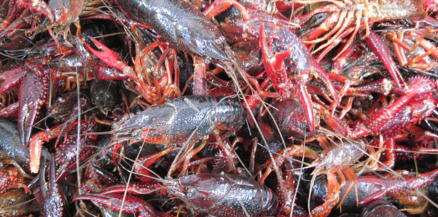 Louisiana Red Swamp Crawfish