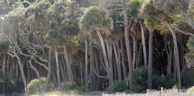 Trees at the South Carolina beachfront on Hunting Island