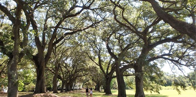 McLeod plantation oaks