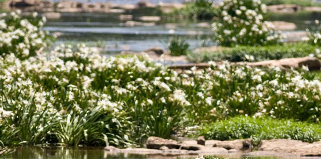 Lillies Landsford Canal State Park