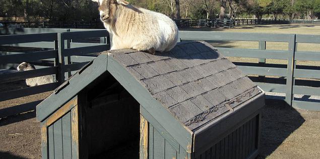 Goat at Lawton Stables on Hilton Head Island, South Carolina