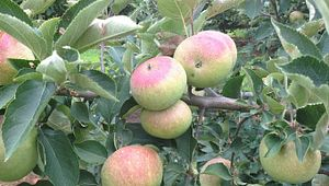 Bryson's Apple Orchard
