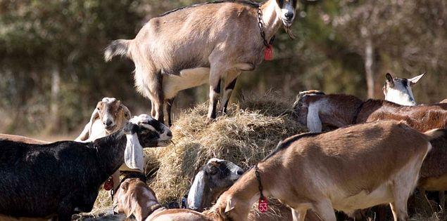 Goats at South Carolina's Split Creek Farm