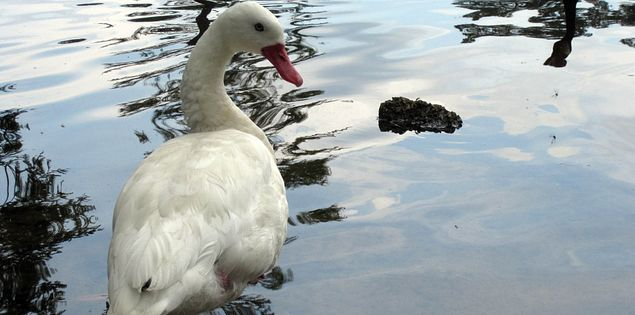 Coscoroba swan in a Sumter, South Carolina lake