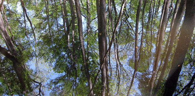 Reflections of trees in the still waters of the Edisto River