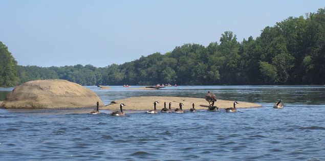 Canadian geese on the Catawba River in Rock Hill