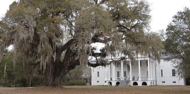 Ancient oak sitting in from of the Hampton Plantation mansion