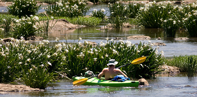 Kayaker enjoying the blooming Rocky Shoals Spider Lilies