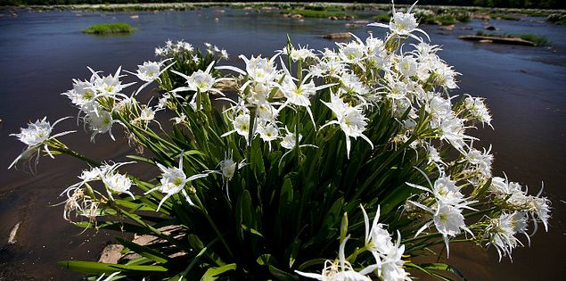 Rocky Shoals Spider Lilies at Landsford Canal State Park
