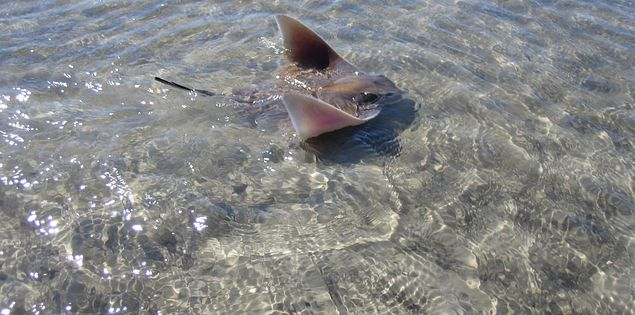 A stingray on the shore of Hilton Head Island