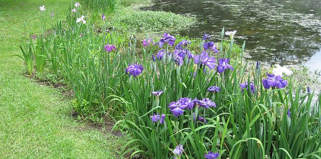 Flowers blooming in South Carolina's Swan Lake-Iris Gardens