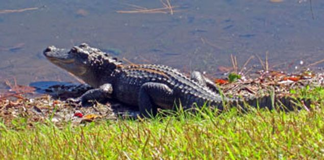 Alligator at the Sea Pines Forest Preserve in Lowcountry South Carolina