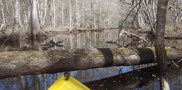 Fallen tree blocking access along Bluffton's New River