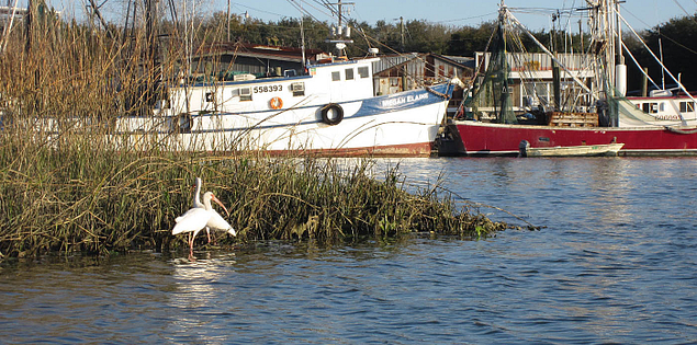 Ibis in Shem Creek at Mount Pleasant, South Carolina