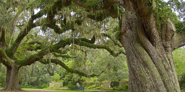 Brookgreen Gardens trees in Murrells Inlet, South Carolina