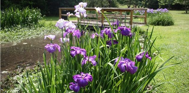 Iris Gardens in Sumter, South Carolina